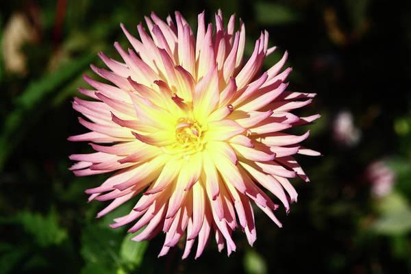 Photograph - Pink Dahlia Flower by Aidan Moran