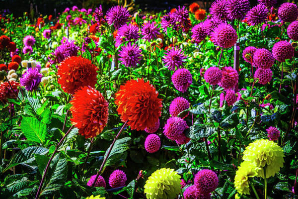 Wall Art - Photograph - Beautiful Dahlia Garden by Garry Gay