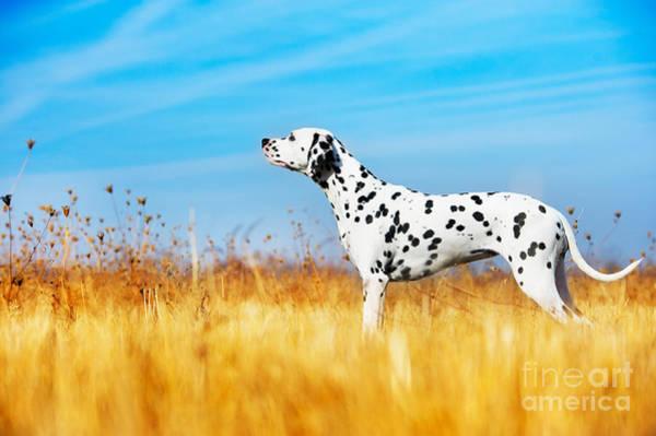 Purebred Wall Art - Photograph - Beautiful Dalmatian Dog In A Field by Tatiana Katsai