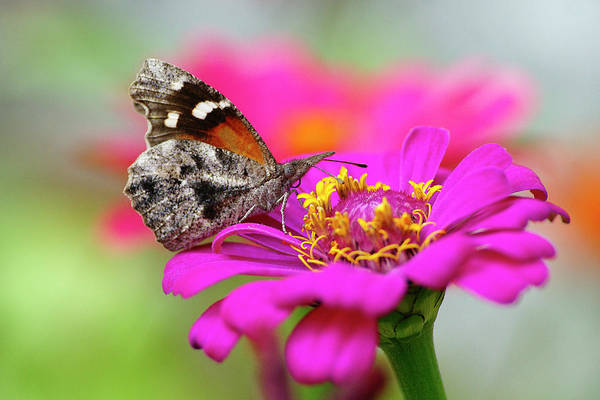 Snout Butterfly Photograph - Beautiful Day by Bill Morgenstern