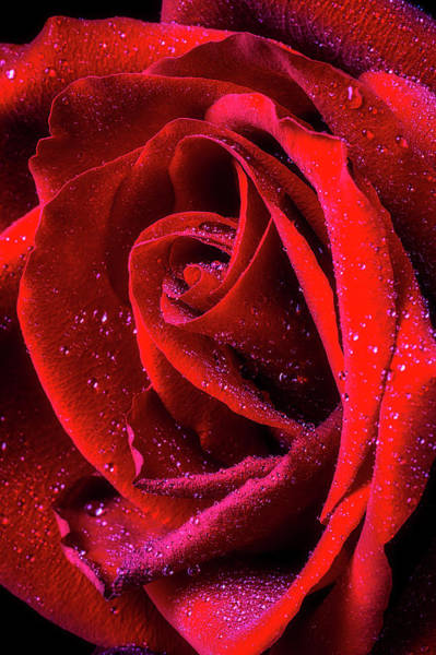 Wet Rose Wall Art - Photograph - Beautiful Dew Covered Red Rose by Garry Gay