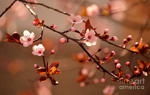 Beautiful Flowering Japanese Cherry - Art Print