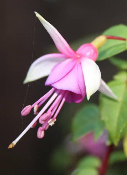 Photograph - Beautiful Fuchsia by Siobhan Dempsey