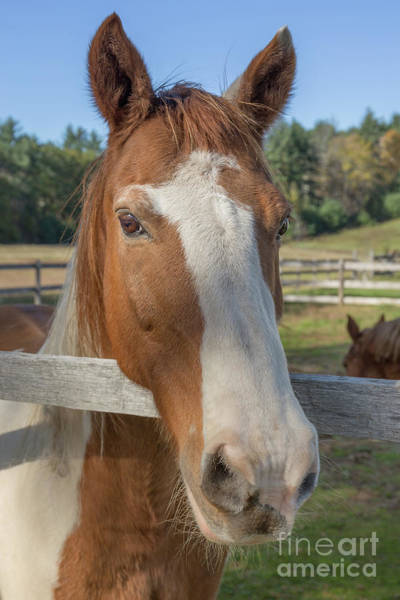 Wall Art - Photograph - Beautiful Horse On A Farm In New Hampshire by Edward Fielding