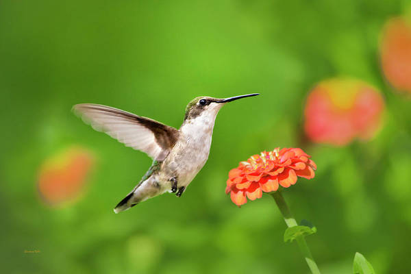 Photograph - Beautiful Hummingbird by Christina Rollo