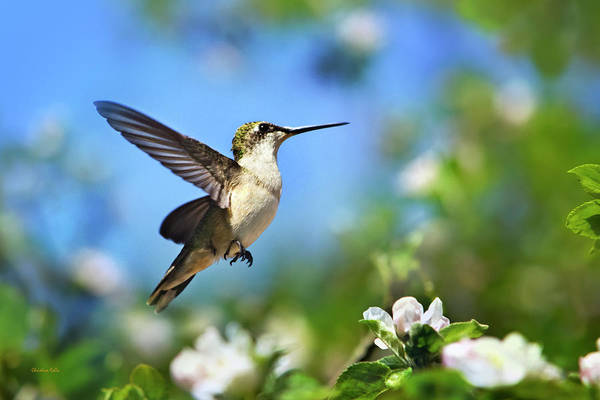 Photograph - Beautiful Hummingbird In Flight by Christina Rollo
