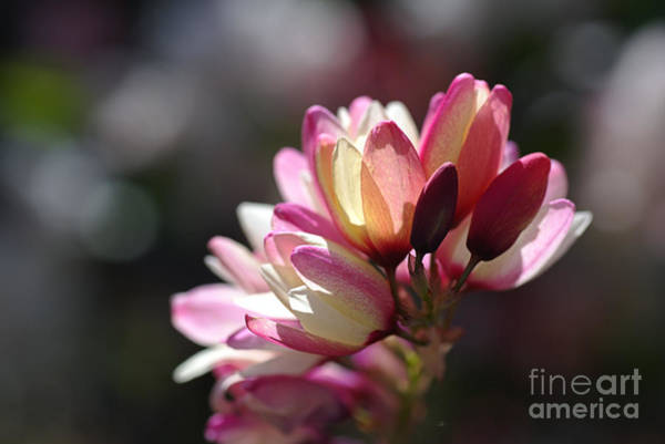 Photograph - Beautiful Ixia Flowers - Love Of Spring by Joy Watson