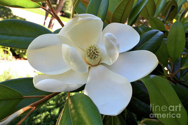 Wall Art - Photograph - Beautiful Magnolia by Carol Groenen
