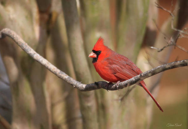 Photograph - Beautiful Male Cardinal by Trina Ansel