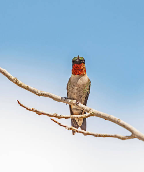 Wall Art - Photograph - Beautiful Male Ruby Throat Hummingbird by John Radosevich
