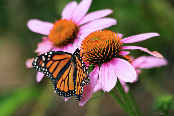 Photograph - Beautiful Monarch On Pink Coneflowers by Trina Ansel