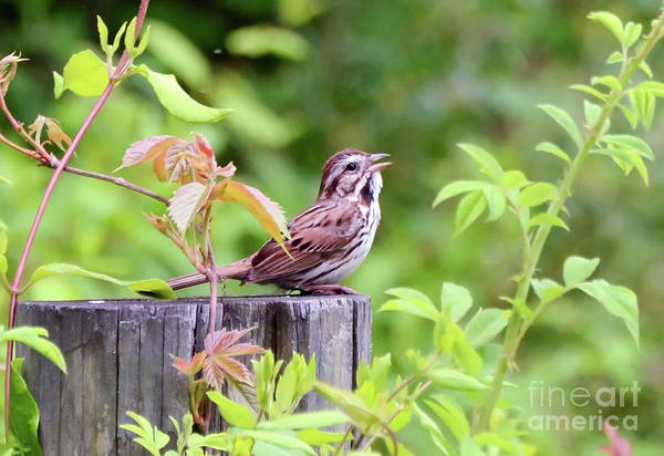 Photograph - Beautiful Music - A Song Sparrow Sings by Kerri Farley