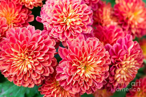 Wall Art - Photograph - Beautiful Of Red Garden Dahlia Flower by Suwat  Wongkham
