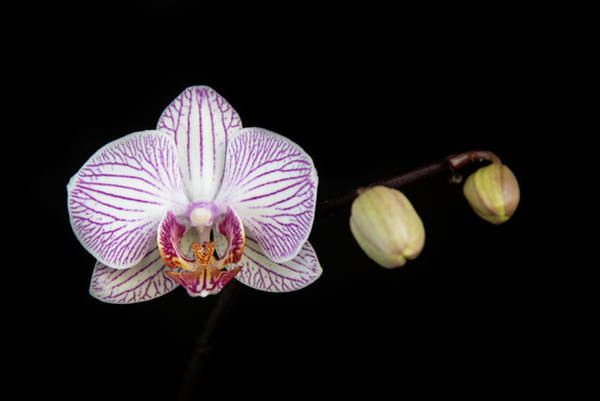 Photograph - Beautiful Orchid, Phalaenopsis, Flower by Michalakis Ppalis