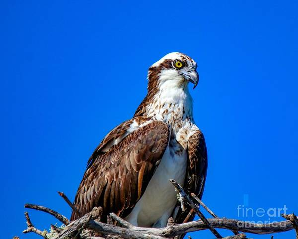 Beautiful Osprey Art Print