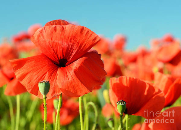Wall Art - Photograph - Beautiful Poppies Bloom Amidst Poppy by Andrij Vatsyk