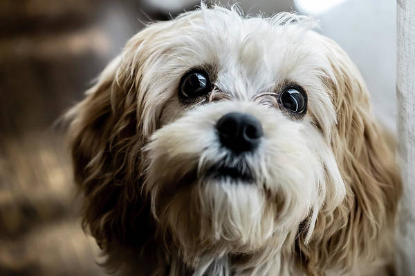 Photograph - Beautiful Puppy Portrait  by Sven Brogren