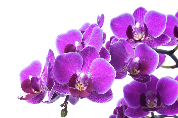 Branch Photograph - Beautiful Purple Orchid On White by Digihelion