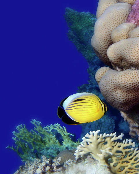 Photograph - Beautiful Red Sea Butterflyfish And Colorful Corals by Johanna Hurmerinta