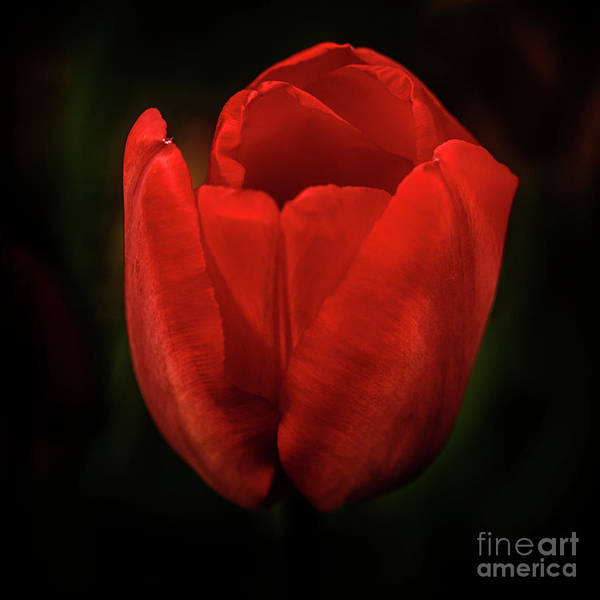 Wall Art - Photograph - Beautiful Red Tulip  by Robert Bales