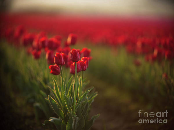 Wall Art - Photograph - Beautiful Red Tulips Morning Light by Mike Reid