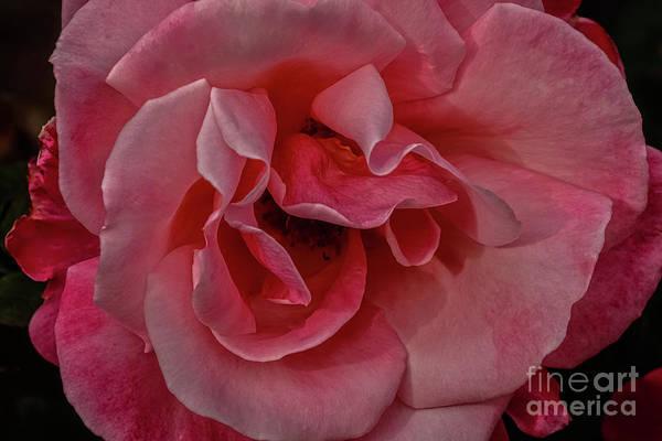 Wall Art - Photograph - Beautiful Rose Macro by Robert Bales