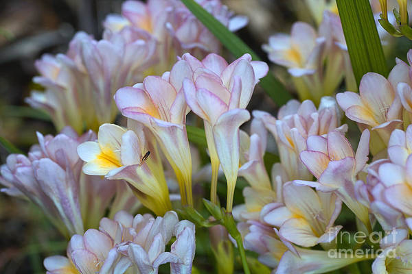Photograph - Beautiful Soft Toned Freesias by Joy Watson