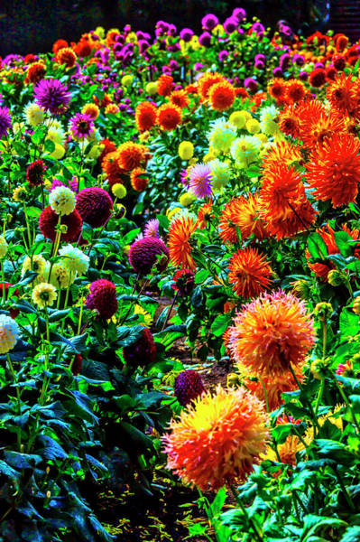 Wall Art - Photograph - Beautiful Summer Dahlia Garden by Garry Gay
