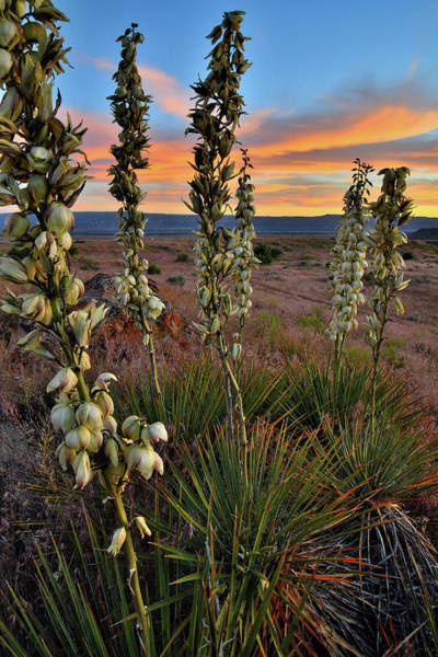 Photograph - Beautiful Sunset On Yuccas In Book Cliffs Desert by Ray Mathis