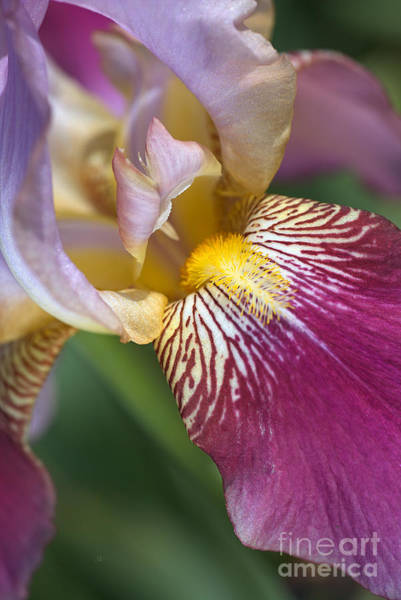 Photograph - Beautiful The Face Of Iris Flower by Joy Watson
