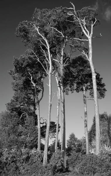 Wall Art - Photograph - Beautiful Toned Black And White Landscape Image Of Scot's Pine T by Matthew Gibson