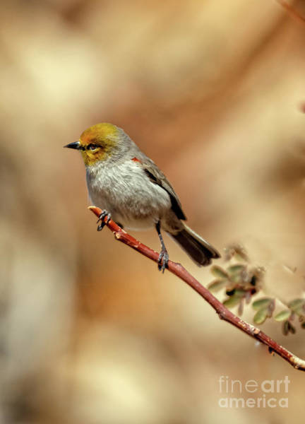 Wall Art - Photograph - Beautiful Verdin by Robert Bales