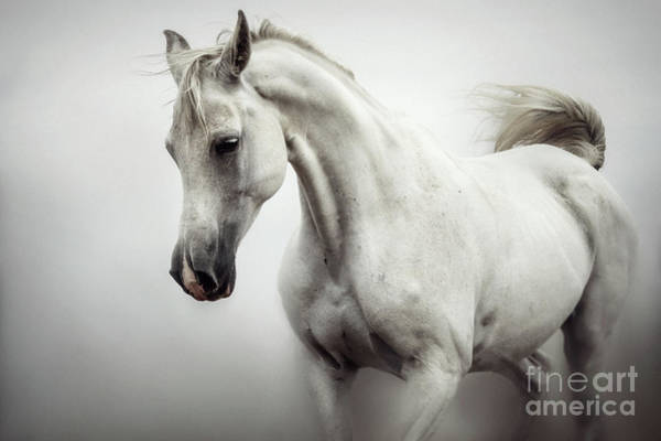 Photograph - Beautiful White Horse On The White Background by Dimitar Hristov