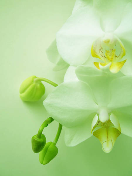 Photograph - Beautiful White Orchid Blooms On Light by Havet