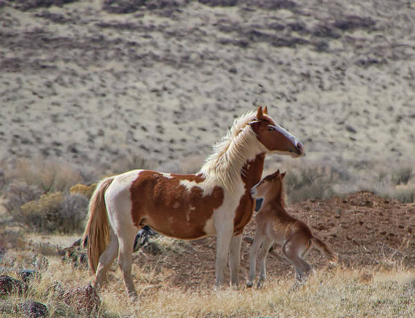 Photograph - Beautiful Wild Paint Mare And Foal by Waterdancer