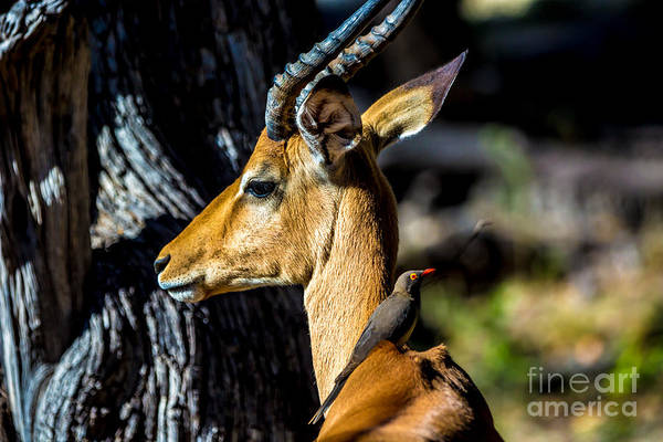 Wall Art - Photograph - Beautiful Wildlife In Chobe National by Lmspencer