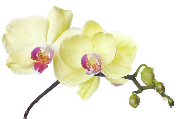Elegance Photograph - Beautiful Yellow Orchid On White by Digihelion