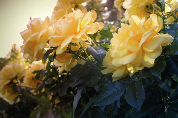 Wall Art - Photograph - Beautiful Yellow Roses by Art Spectrum