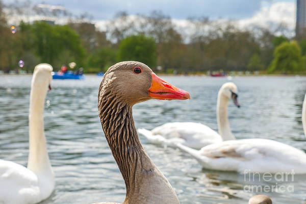 Swan Photograph - Beautiful Young Swans In Lake Wildlife by Freeprod33