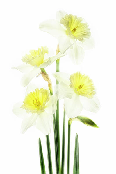 Photograph - Beauty Of Daffodils by Usha Peddamatham