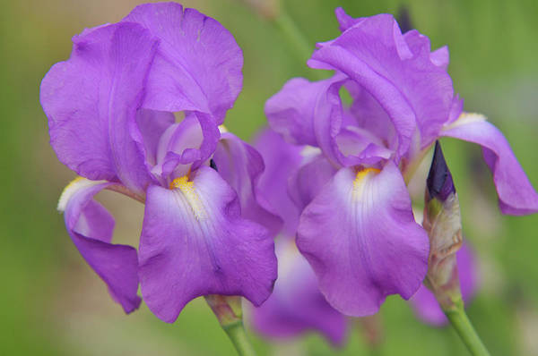 Photograph - Beauty Of Irises. Aphrodite 4 by Jenny Rainbow