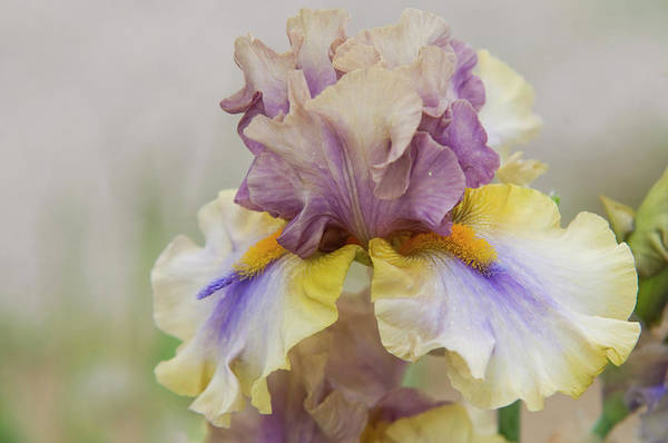 Photograph - Beauty Of Irises. Believe In Miracles 1 by Jenny Rainbow