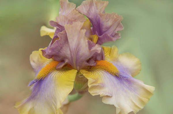 Photograph - Beauty Of Irises. Believe In Miracles by Jenny Rainbow