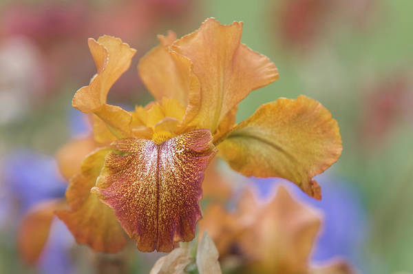 Photograph - Beauty Of Irises. Cayenne Capers 1 by Jenny Rainbow