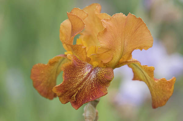 Photograph - Beauty Of Irises. Cayenne Capers by Jenny Rainbow