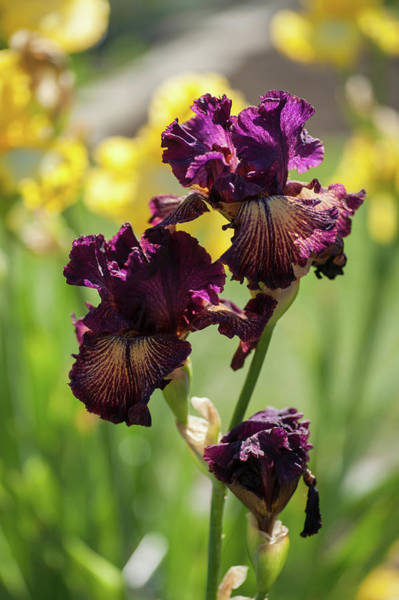 Photograph - Beauty Of Irises. Drama Queen by Jenny Rainbow