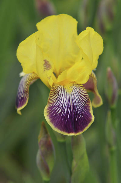 Photograph - Beauty Of Irises. Loreley 1 by Jenny Rainbow
