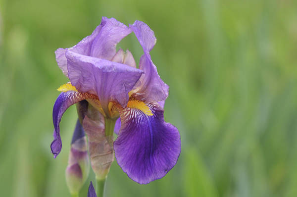 Photograph - Beauty Of Irises. Quaker Lady 1 by Jenny Rainbow