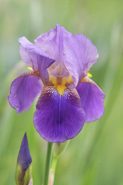 Photograph - Beauty Of Irises. Quaker Lady 2 by Jenny Rainbow
