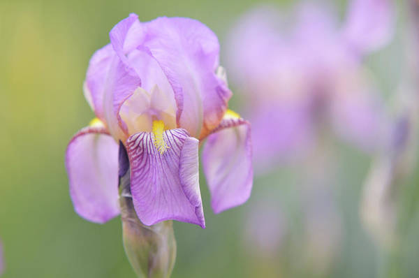 Photograph - Beauty Of Irises. Queen Of May 2 by Jenny Rainbow
